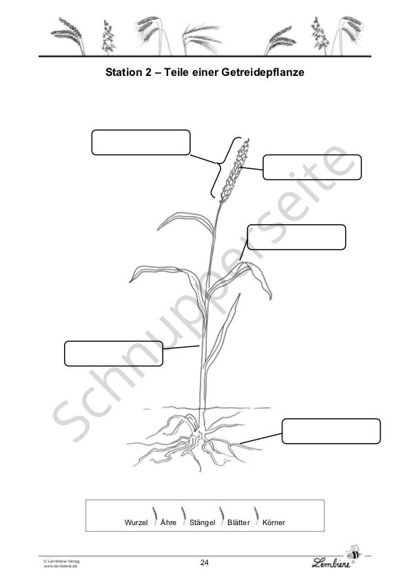 Getreide pflanzenteile kennenlernen und bezeichnen
